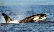 _AF_EDLS_ Killer Whale